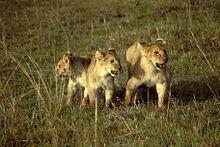 Jeunes lionceaux