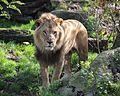 Loewe Panthera leo Tierpark Hellabrunn-8.jpg