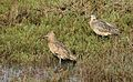 Long-billed curlew, Numenius americanus, Moss Landing (Elkhorn Slough and beach), California, USA. (30917734656).jpg