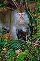Long-tailed Macaque (Macaca fascicularis) (13952334518).jpg