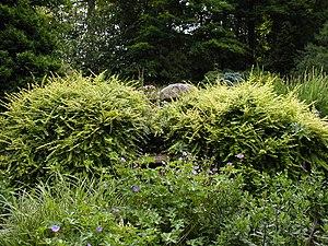 Lonicera nitida - Image: Lonicera nitida aurea after pruning