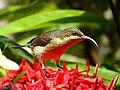 Loten's Sunbird Female (Cinnyris lotenius) (19186996402).jpg