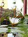 Lotus 15.jpg