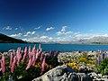 Lupins at Lake Tekapo - panoramio.jpg