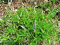 Lupinus latifolius (Broadleaf Lupine) - Flickr - brewbooks.jpg