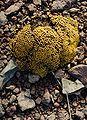 Lyallia kerguelensis.JPG