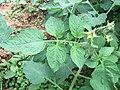 Lycopersicon esculentum - Tomato from Wayanad (5).jpg