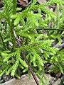 Lycopodium deuterodensum 02.jpg