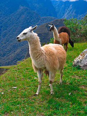 Lamas (Lama glama) ap de Weede in do Ruinen fon Machu Picchu