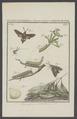 Macroglossa - Print - Iconographia Zoologica - Special Collections University of Amsterdam - UBAINV0274 003 04 0032.tif