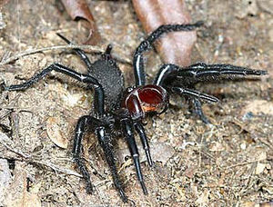 Hexathelidae - Threatening female Macrothele gigas