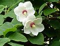 Magnolia sieboldii.jpg