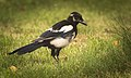Magpie (37066267872).jpg