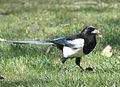 Magpie in Madrid (Spain) 86.jpg
