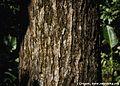 Mahogany bark.jpg