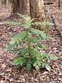 Mahonia sp. - Flickr - Jay Sturner (1).jpg
