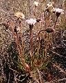 Mairia burchellii Helme 1.jpg