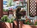 Majmun pobeg`o iz ZOO-a - panoramio - spaceman117.jpg