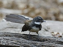 Malaysian Pied Fantail Wikipedia Are you a member of the fantail fan club? sorry, i couldn't resist 😉. malaysian pied fantail wikipedia