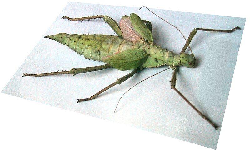 File:Malaysische Gespensterschrecke.jpg