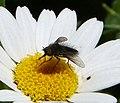Male Beefly? (32646539136).jpg