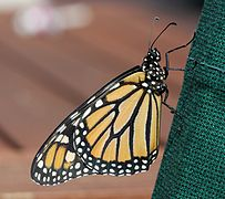 Male monarch butterfly (Danaus plexippus), about to take first flight.jpg