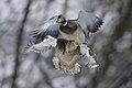 Mallard duck.BDT0009 .jpg
