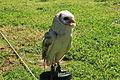 Malta - Siggiewi - Triq l-Imqabba - Falconry - Tyto alba 01 ies.jpg