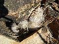 Mammillaria guelzowiana (5729366967).jpg