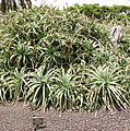 Mammillaria pringlei - Mammillaria rhodantha - Oasis Park botanical garden - Fuerteventura.jpg