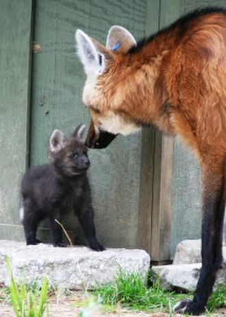 Maned wolf - A maned wolf and pup at White Oak Conservation