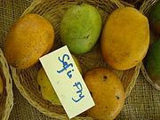 Mango SophieFry Asit fs8.jpg