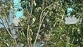 Mango tree with a lot of mangoes of Khulna, Bangladesh 2.JPG