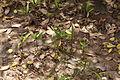 Mangrove flora 04440.JPG