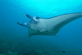 Manta ray from Yap.jpg