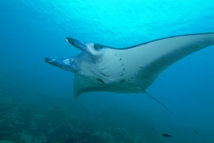 M.alfredi with cephalic fins rolled up (Yap, Micronesia) Manta ray from Yap.jpg