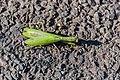 Mantis religiosa in Aveyron 01.jpg