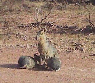 Argentine Monte - Mara breastfeeding in the Sierra de las Quijadas National Park