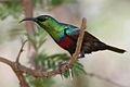 Marico sunbird, Cinnyris mariquensis (male) at Marakele National Park, Limpopo, South Africa (16301138095).jpg