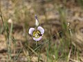 Mariposa Lily - Carson National Forest 02.jpg