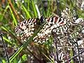 Mariposa arlequín (Zerynthia rumina) al trasluz.JPG