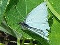 Mariposa blanca de la col (Leptophobia aripa).jpg