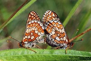Acasalamento da borboleta fritilária-dos-lameiros (Euphydryas aurinia) em Brickes Wood, Lydlinch, Dorset, Inglaterra. (definição 4491×2995)