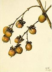 Persimmon (Diospyros virginiana)