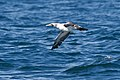 Masked Booby (5041603528).jpg