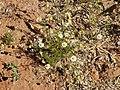 Matricaria chamomilla plant (20).jpg