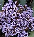 Maurve Flowers (3313924537).jpg