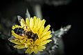 Me-nthedogs - Hoverfly (Eristalis pertinax) (by).jpg