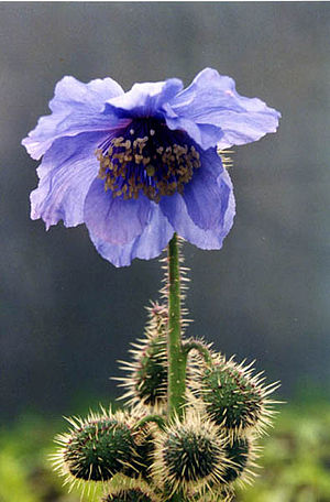 Meconopsis horridula - Meconopsis horridula flower with spiny capsules