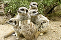 Meerkat Group at Drusillas Park.JPG